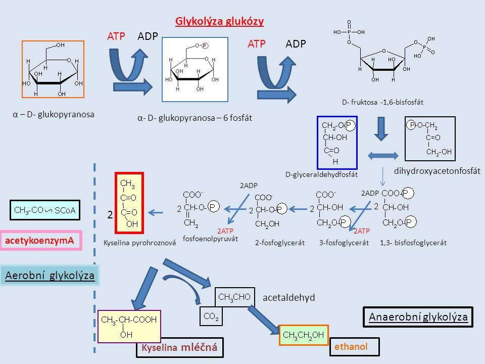 α – D- glukopyranosa α- D- glukopyranosa – 6 fosfát D- fruktosa -1,6-bisfosfát ATPADP ATP dihydroxyacetonfosfát D-glyceraldehydfosfát Kyselina pyrohroznová acetykoenzymA Kyselina mléčná acetaldehyd ethanol Aerobní glykolýza Anaerobní glykolýza Glykolýza glukózy 2 1,3- bisfosfoglycerát3-fosfoglycerát2-fosfoglycerát fosfoenolpyruvát 2ADP 2ATP 2ADP 2ATP