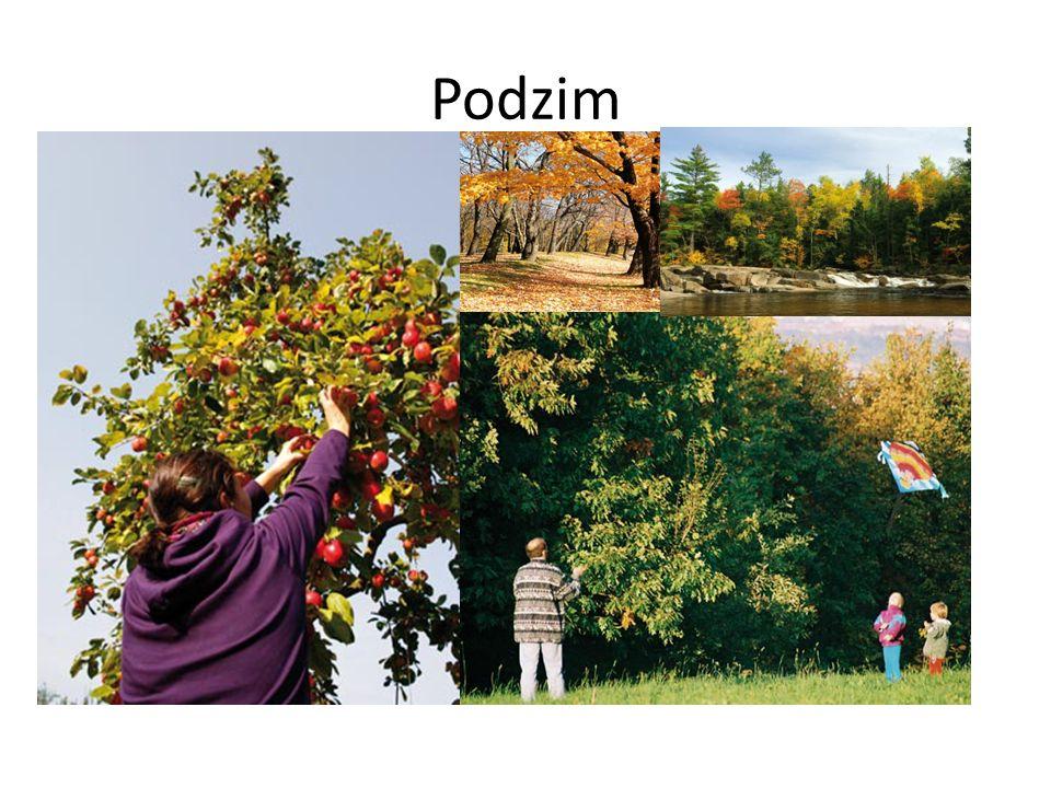 Ovocný sad na podzim Sklizeň jablek