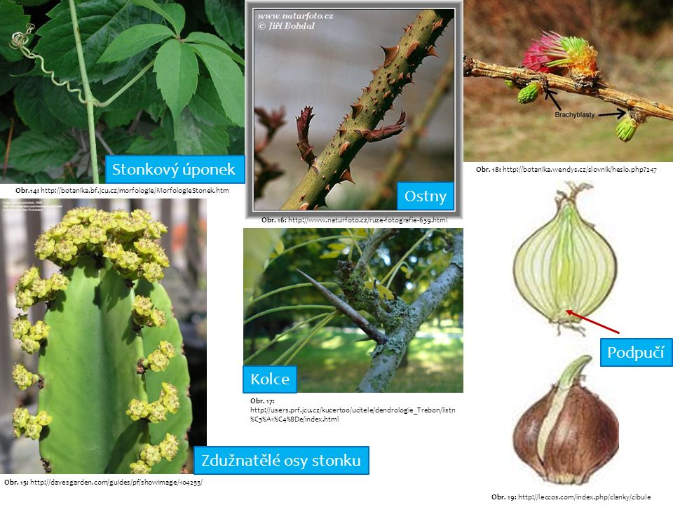 Obr.14: http://botanika.bf.jcu.cz/morfologie/MorfologieStonek.htm Obr.