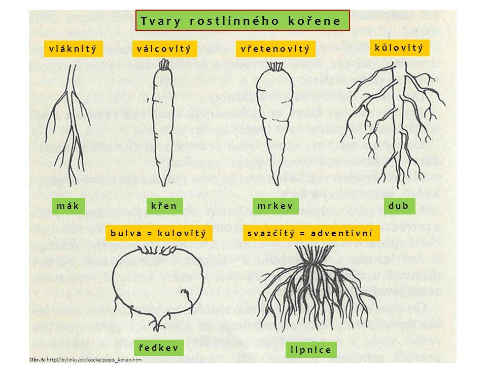 Tvary rostlinného kořene vláknitýválcovitývřetenovitý kůlovitý bulva = kulovitýsvazčitý = adventivní mákkřenmrkevdub ředkev lipnice Obr.