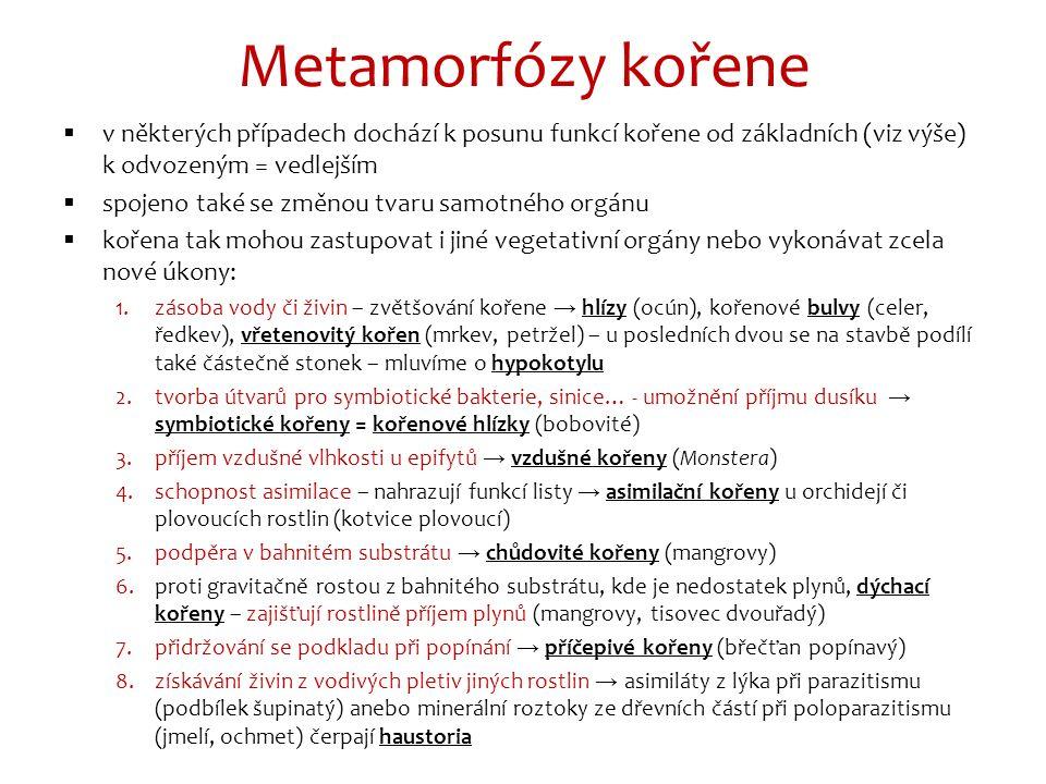 Metamorfózy kořene  v některých případech dochází k posunu funkcí kořene od základních (viz výše) k odvozeným = vedlejším  spojeno také se změnou tvaru samotného orgánu  kořena tak mohou zastupovat i jiné vegetativní orgány nebo vykonávat zcela nové úkony: 1.zásoba vody či živin – zvětšování kořene → hlízy (ocún), kořenové bulvy (celer, ředkev), vřetenovitý kořen (mrkev, petržel) – u posledních dvou se na stavbě podílí také částečně stonek – mluvíme o hypokotylu 2.tvorba útvarů pro symbiotické bakterie, sinice… - umožnění příjmu dusíku → symbiotické kořeny = kořenové hlízky (bobovité) 3.příjem vzdušné vlhkosti u epifytů → vzdušné kořeny (Monstera) 4.schopnost asimilace – nahrazují funkcí listy → asimilační kořeny u orchidejí či plovoucích rostlin (kotvice plovoucí) 5.podpěra v bahnitém substrátu → chůdovité kořeny (mangrovy) 6.proti gravitačně rostou z bahnitého substrátu, kde je nedostatek plynů, dýchací kořeny – zajišťují rostlině příjem plynů (mangrovy, tisovec dvouřadý) 7.přidržování se podkladu při popínání → příčepivé kořeny (břečťan popínavý) 8.získávání živin z vodivých pletiv jiných rostlin → asimiláty z lýka při parazitismu (podbílek šupinatý) anebo minerální roztoky ze dřevních částí při poloparazitismu (jmelí, ochmet) čerpají haustoria