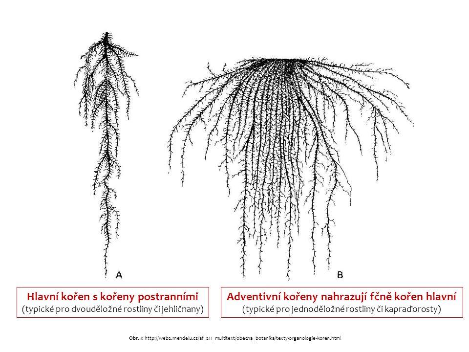 Hlavní kořen s kořeny postranními (typické pro dvouděložné rostliny či jehličnany) Adventivní kořeny nahrazují fčně kořen hlavní (typické pro jednoděložné rostliny či kapraďorosty) Obr.