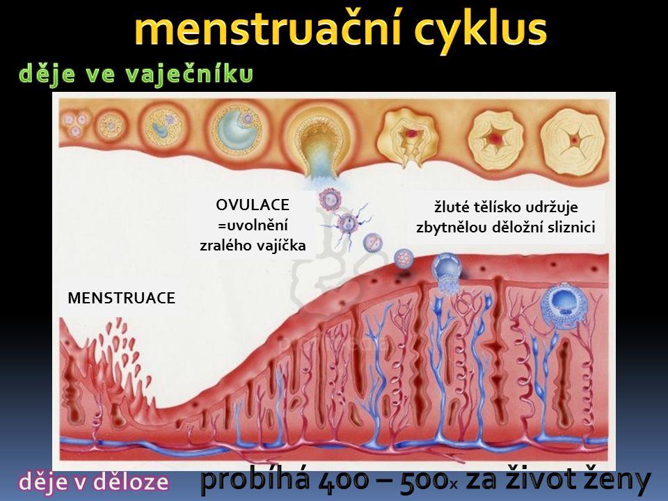 1.Příprava na ovulaci. Po menstruaci začíná narůstat děložní sliznice.