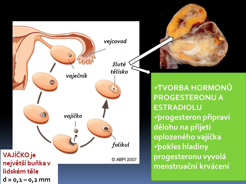 vajíčko žluté tělísko vejcovod vaječník folikul TVORBA HORMONŮ PROGESTERONU A ESTRADIOLU progesteron připraví dělohu na přijetí oplozeného vajíčka pok