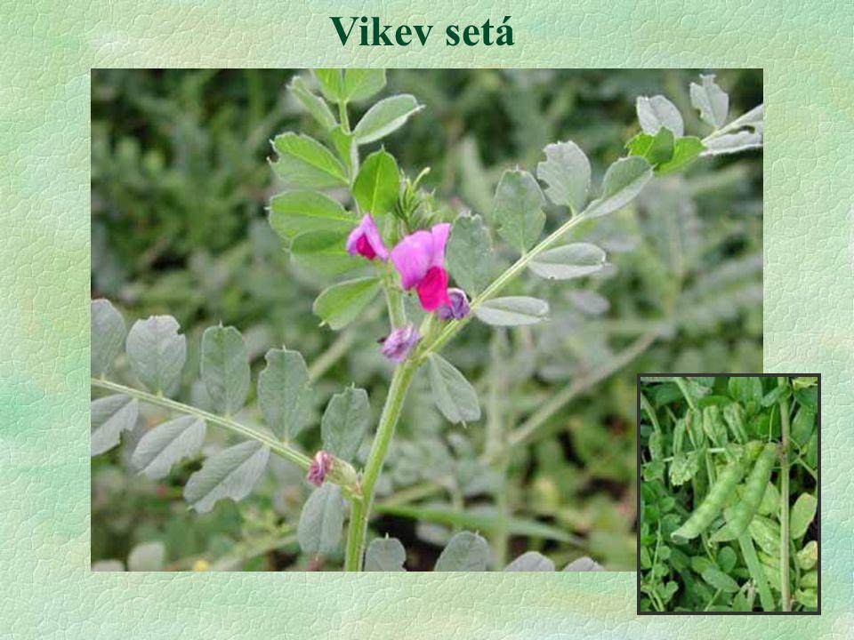 Vikev setá