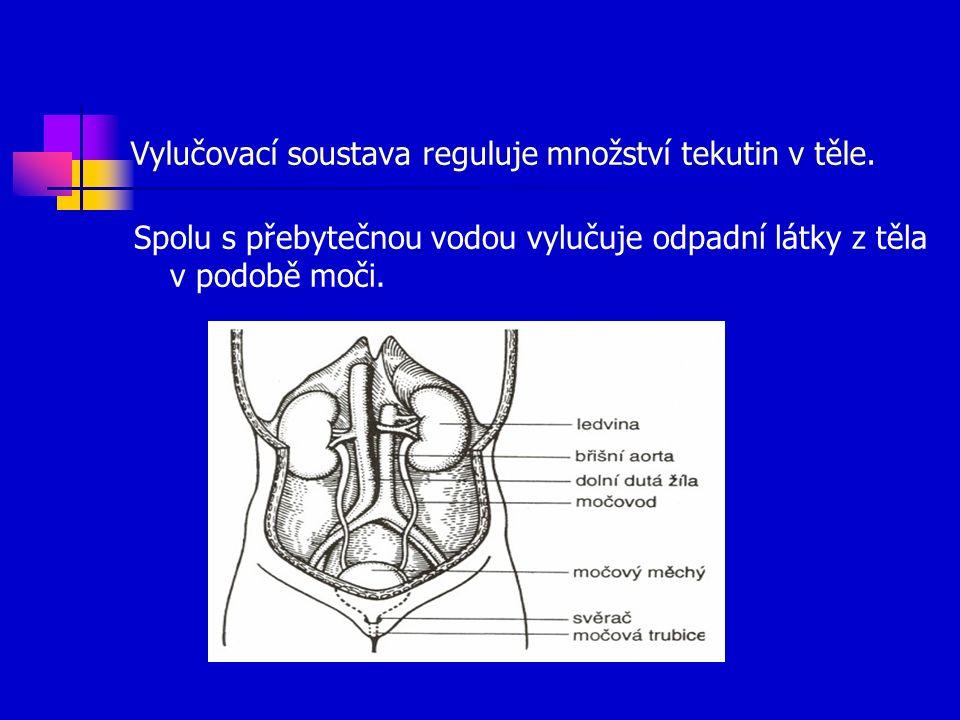 Vylučovací soustava reguluje množství tekutin v těle.