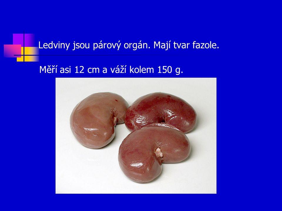 Ledviny jsou párový orgán. Mají tvar fazole. Měří asi 12 cm a váží kolem 150 g.