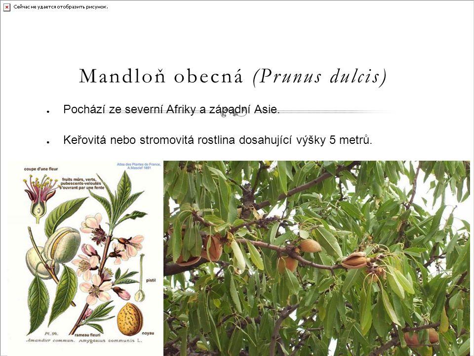Mandloň obecná (Prunus dulcis) ● Pochází ze severní Afriky a západní Asie.