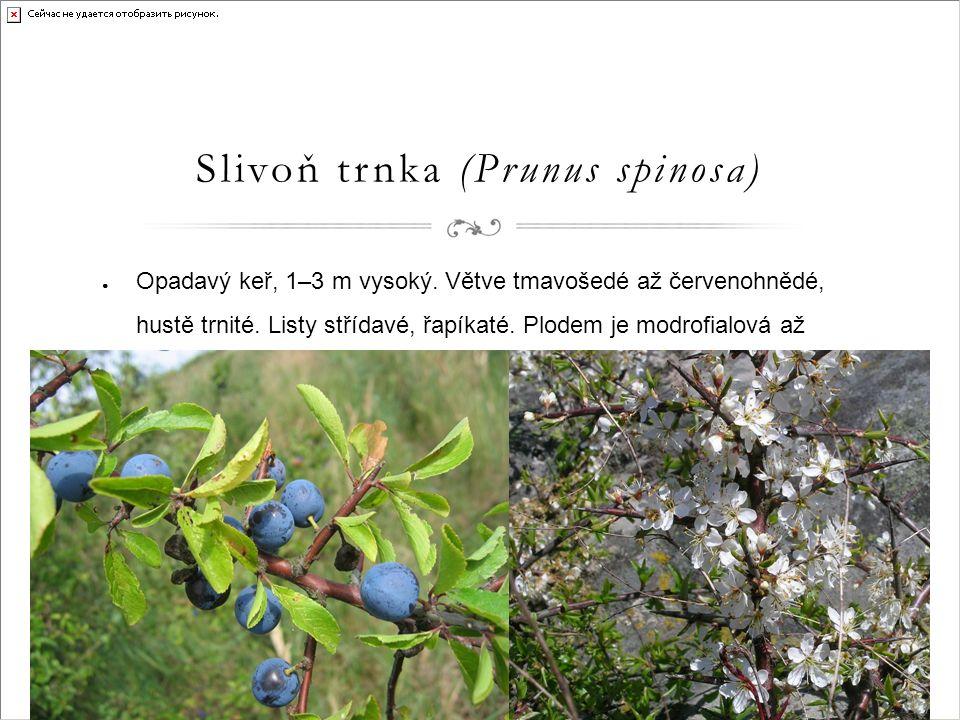 Slivoň trnka (Prunus spinosa) ● Opadavý keř, 1–3 m vysoký.