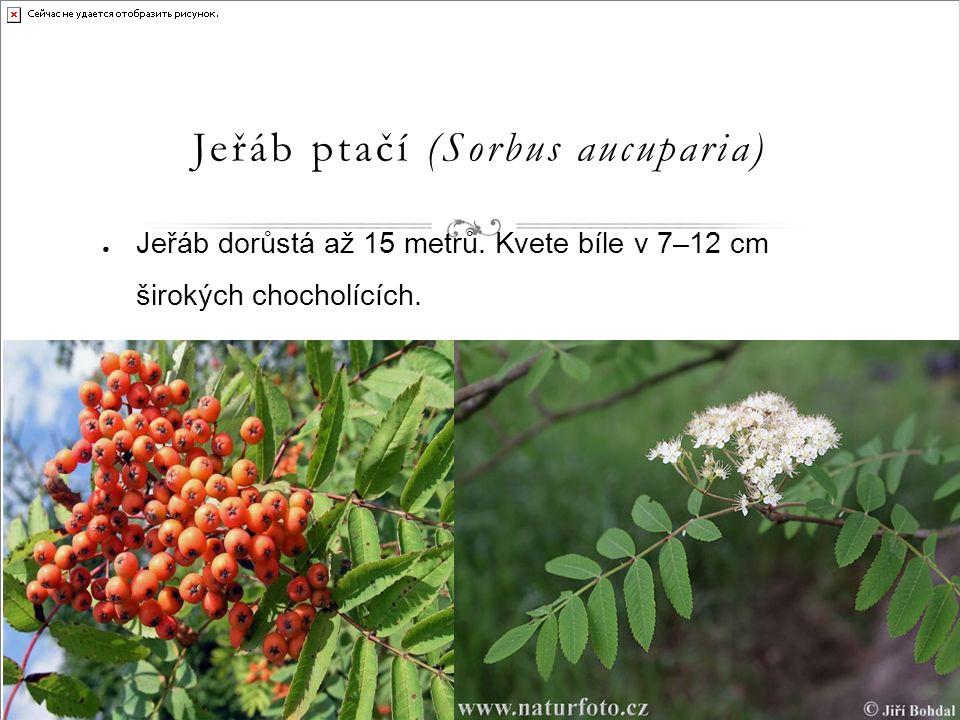 Jeřáb ptačí (Sorbus aucuparia) ● Jeřáb dorůstá až 15 metrů.