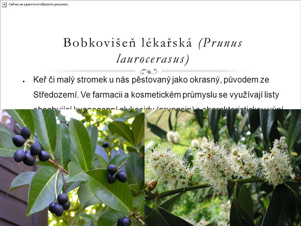 Bobkovišeň lékařská (Prunus laurocerasus) ● Keř či malý stromek u nás pěstovaný jako okrasný, původem ze Středozemí.