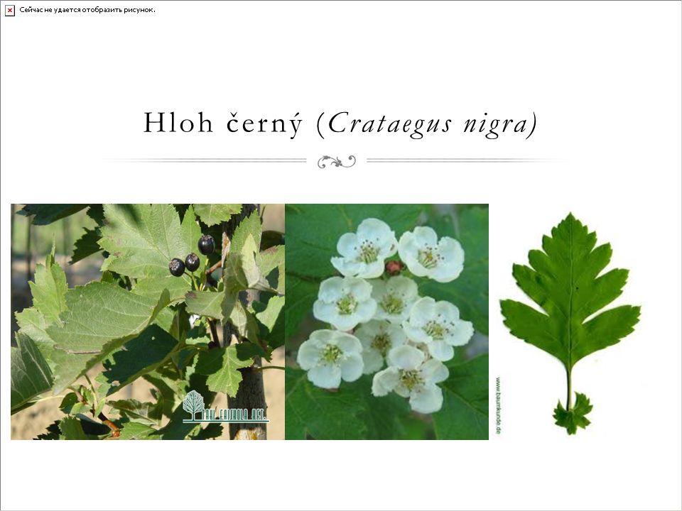 Hloh černý (Crataegus nigra)
