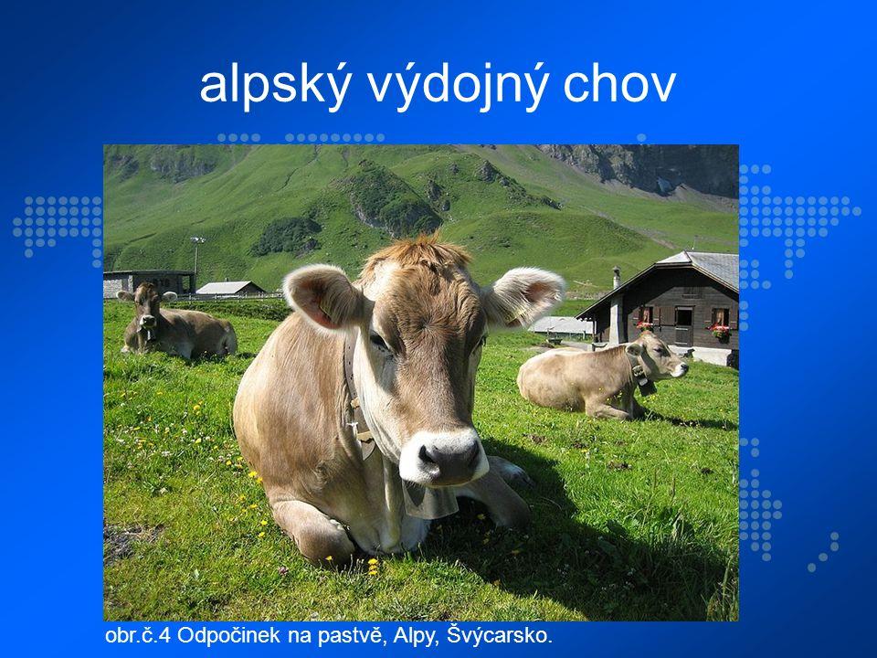 alpský výdojný chov obr.č.4 Odpočinek na pastvě, Alpy, Švýcarsko.