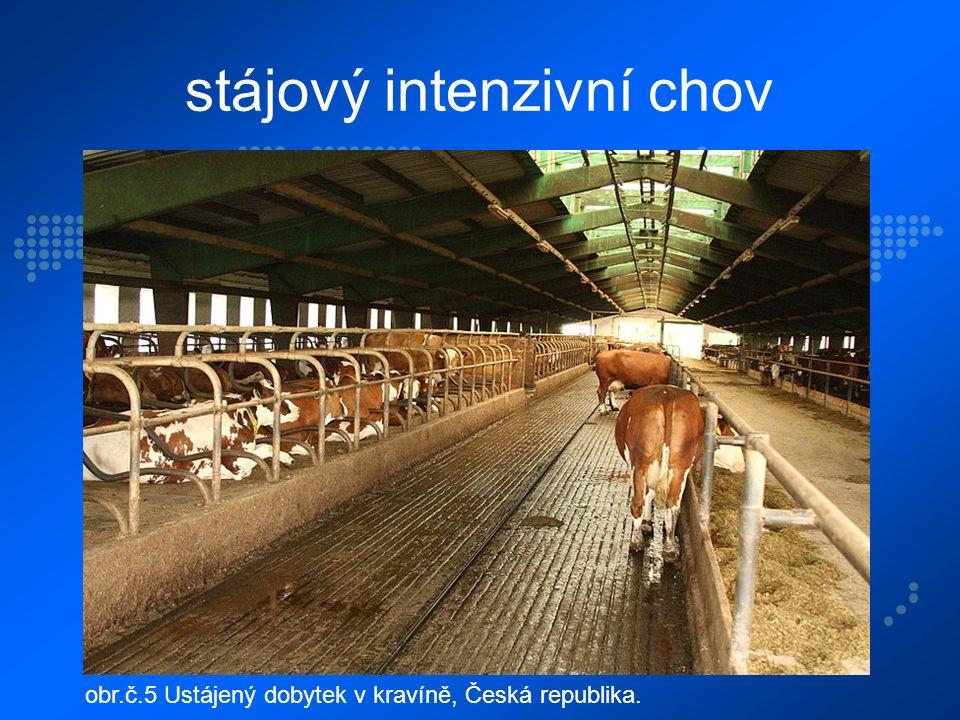 stájový intenzivní chov obr.č.5 Ustájený dobytek v kravíně, Česká republika.