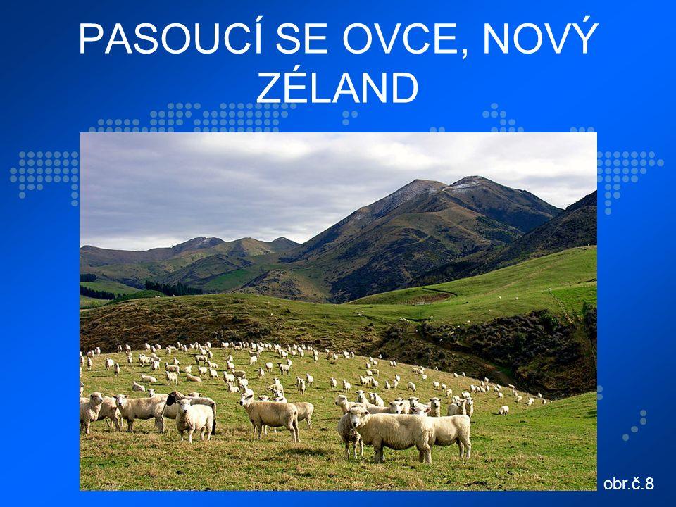 PASOUCÍ SE OVCE, NOVÝ ZÉLAND obr.č.8