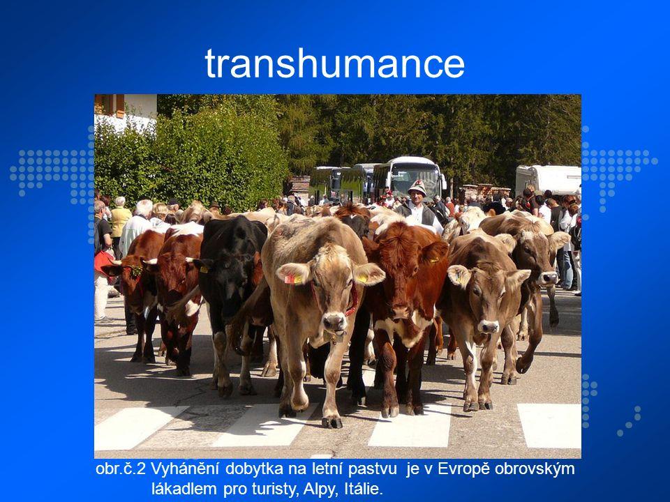 transhumance obr.č.2 Vyhánění dobytka na letní pastvu je v Evropě obrovským lákadlem pro turisty, Alpy, Itálie.