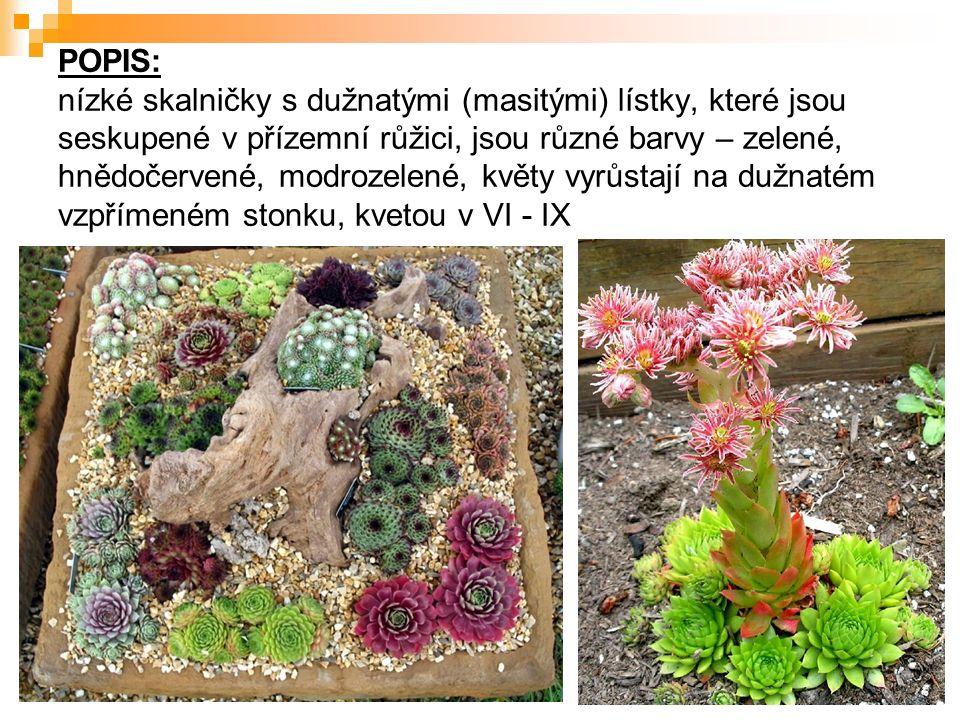 POPIS: nízké skalničky s dužnatými (masitými) lístky, které jsou seskupené v přízemní růžici, jsou různé barvy – zelené, hnědočervené, modrozelené, květy vyrůstají na dužnatém vzpřímeném stonku, kvetou v VI - IX