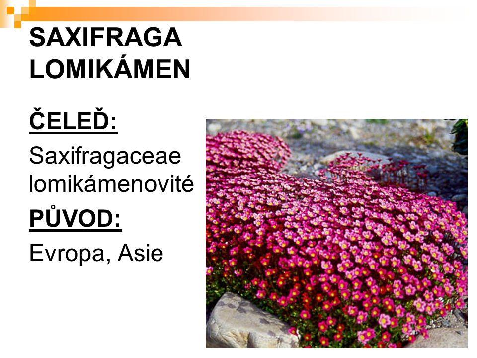 SAXIFRAGA LOMIKÁMEN ČELEĎ: Saxifragaceae lomikámenovité PŮVOD: Evropa, Asie