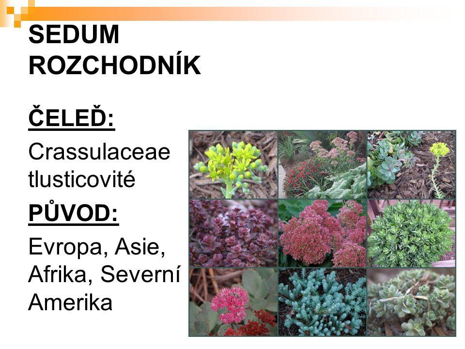 SEDUM ROZCHODNÍK ČELEĎ: Crassulaceae tlusticovité PŮVOD: Evropa, Asie, Afrika, Severní Amerika