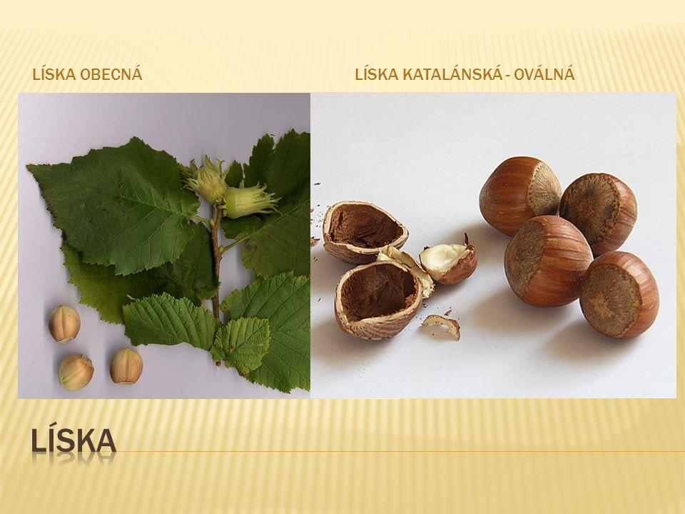 LÍSKA OBECNÁLÍSKA KATALÁNSKÁ - OVÁLNÁ