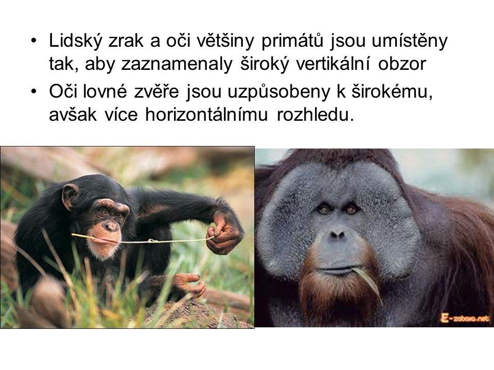 Lidský zrak a oči většiny primátů jsou umístěny tak, aby zaznamenaly široký vertikální obzor Oči lovné zvěře jsou uzpůsobeny k širokému, avšak více horizontálnímu rozhledu.