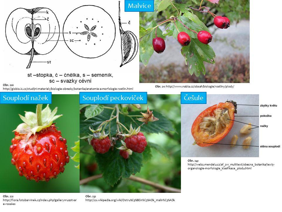 Obr. 20: http://giobio.ic.cz/studijni-materialy/biologie-obrazky/botanika/anatomie-a-morfologie-rostlin.html Obr. 21: http://www.nabla.cz/obsah/biolog