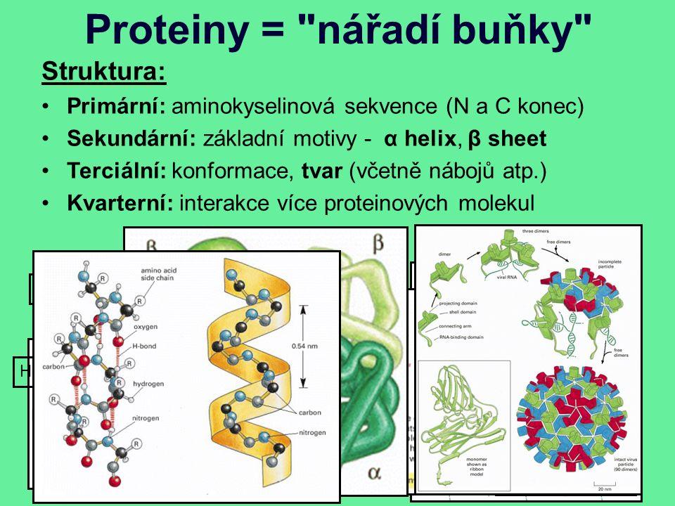 Proteiny = nářadí buňky Struktura: Primární: aminokyselinová sekvence (N a C konec) Sekundární: základní motivy - α helix, β sheet Terciální: konformace, tvar (včetně nábojů atp.) Kvarterní: interakce více proteinových molekul 20+2 aminokyselin, liší se postranním řetězcem Doména x motiv Hemoglobin
