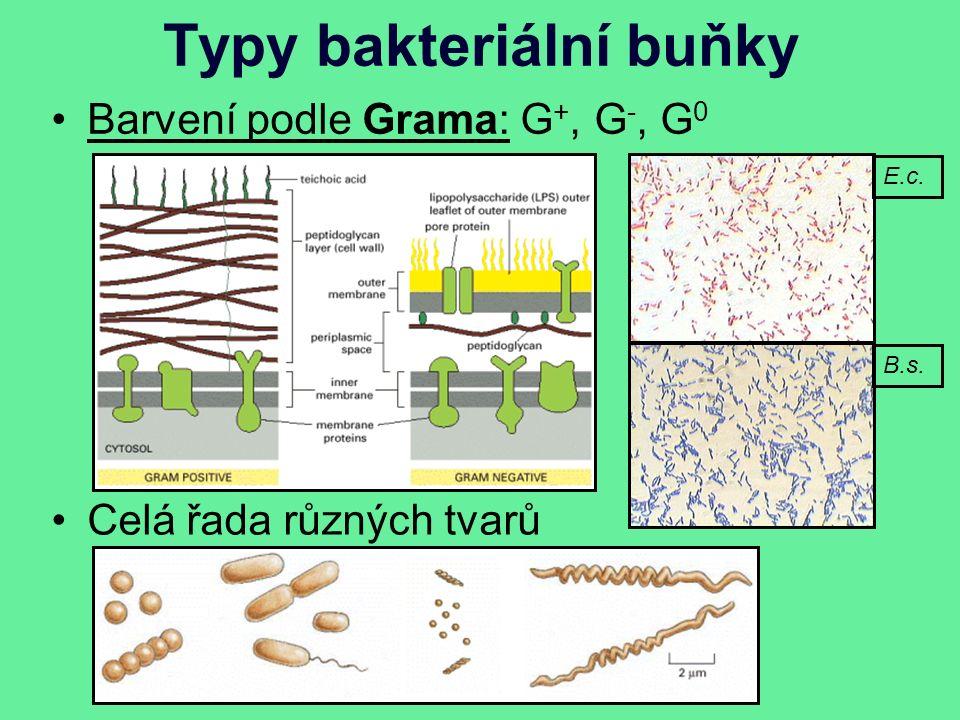 Typy bakteriální buňky Barvení podle Grama: G +, G -, G 0 Celá řada různých tvarů E.c. B.s.