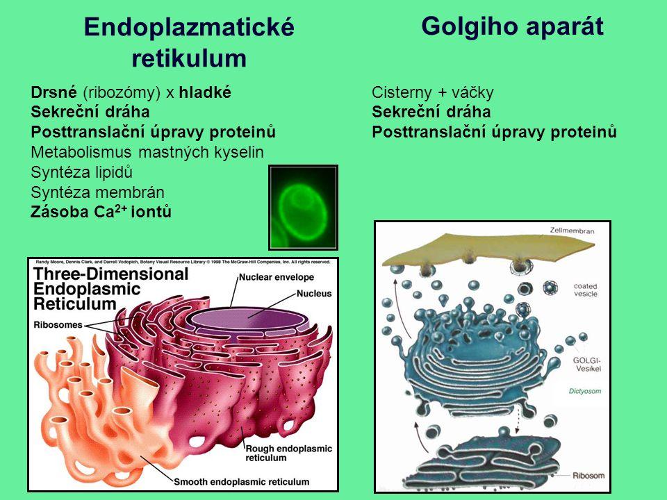 Endoplazmatické retikulum Drsné (ribozómy) x hladké Sekreční dráha Posttranslační úpravy proteinů Metabolismus mastných kyselin Syntéza lipidů Syntéza membrán Zásoba Ca 2+ iontů Golgiho aparát Cisterny + váčky Sekreční dráha Posttranslační úpravy proteinů