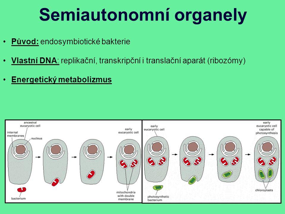 Semiautonomní organely Původ: endosymbiotické bakterie Vlastní DNA: replikační, transkripční i translační aparát (ribozómy) Energetický metabolizmus