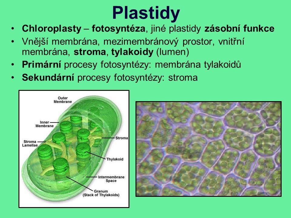 Plastidy Chloroplasty – fotosyntéza, jiné plastidy zásobní funkce Vnější membrána, mezimembránový prostor, vnitřní membrána, stroma, tylakoidy (lumen) Primární procesy fotosyntézy: membrána tylakoidů Sekundární procesy fotosyntézy: stroma