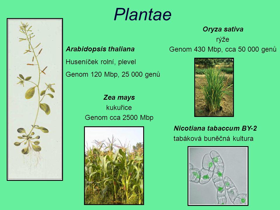 Plantae Arabidopsis thaliana Huseníček rolní, plevel Genom 120 Mbp, 25 000 genů Oryza sativa rýže Genom 430 Mbp, cca 50 000 genů Nicotiana tabaccum BY-2 tabáková buněčná kultura Zea mays kukuřice Genom cca 2500 Mbp