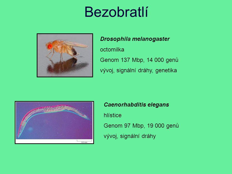 Bezobratlí Drosophila melanogaster octomilka Genom 137 Mbp, 14 000 genů vývoj, signální dráhy, genetika Caenorhabditis elegans hlístice Genom 97 Mbp, 19 000 genů vývoj, signální dráhy