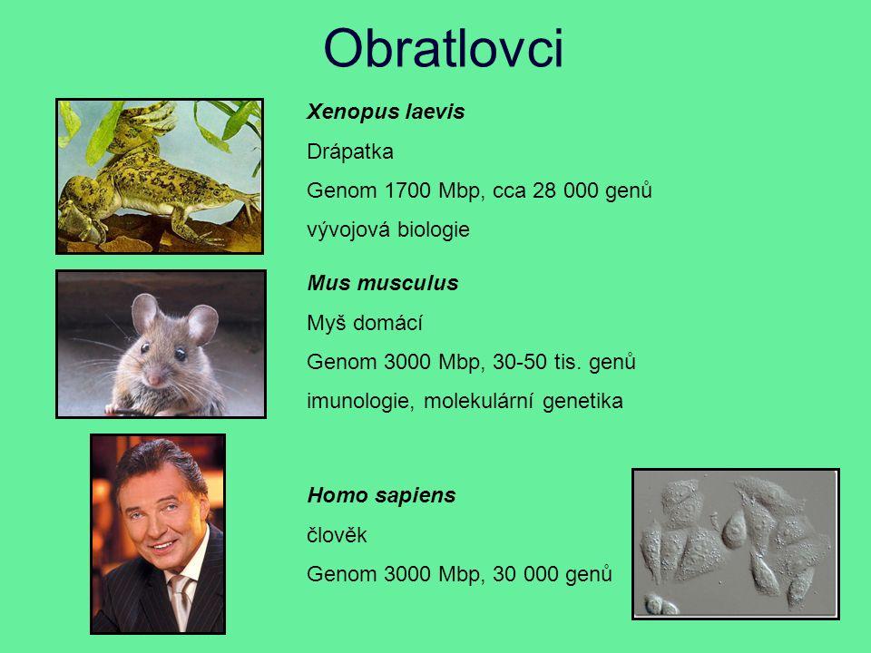 Obratlovci Xenopus laevis Drápatka Genom 1700 Mbp, cca 28 000 genů vývojová biologie Mus musculus Myš domácí Genom 3000 Mbp, 30-50 tis.