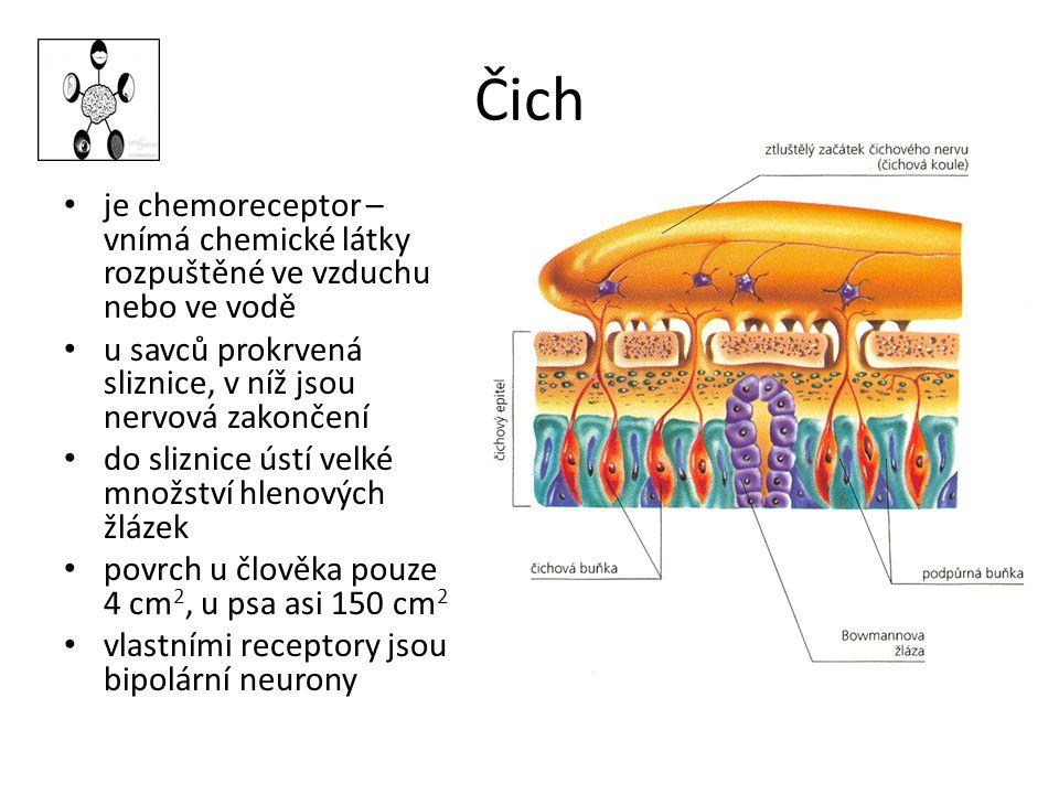 Čich je chemoreceptor – vnímá chemické látky rozpuštěné ve vzduchu nebo ve vodě u savců prokrvená sliznice, v níž jsou nervová zakončení do sliznice ústí velké množství hlenových žlázek povrch u člověka pouze 4 cm 2, u psa asi 150 cm 2 vlastními receptory jsou bipolární neurony