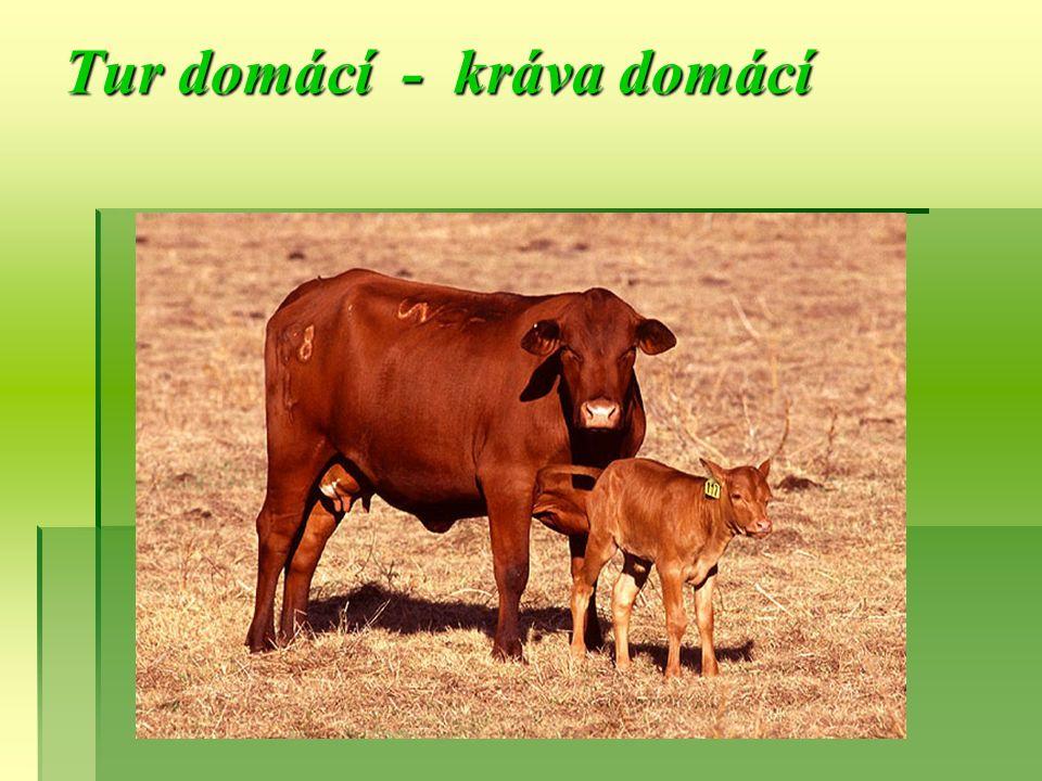 Tur domácí - kráva domácí
