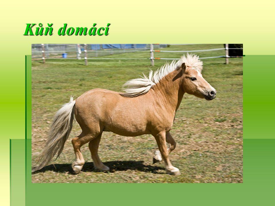  Kůň domácí  Kůň je zvíře patřící mezi lichokopytníky.