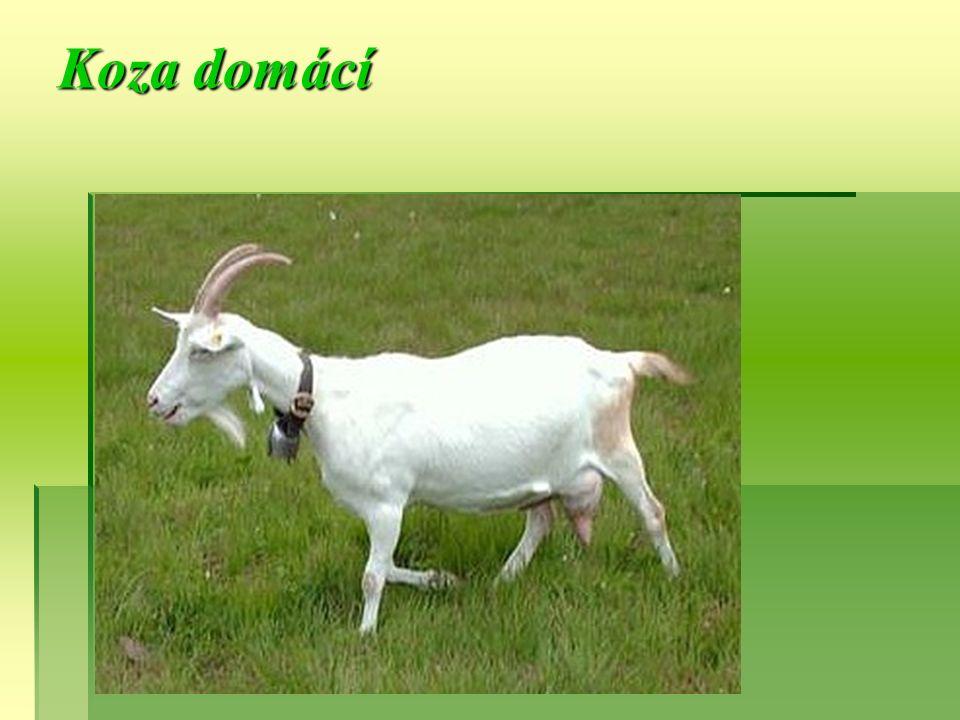 Velikost:45 - 50 cm Váha: samec: 27 -39 kg, samice: 23 -34 kg Počet mláďat: většinou 2 Délka březosti: 150 dní Potrava: dřeviny, byliny, tráva Způsob života: koza je stádové zvíře Koza domácí