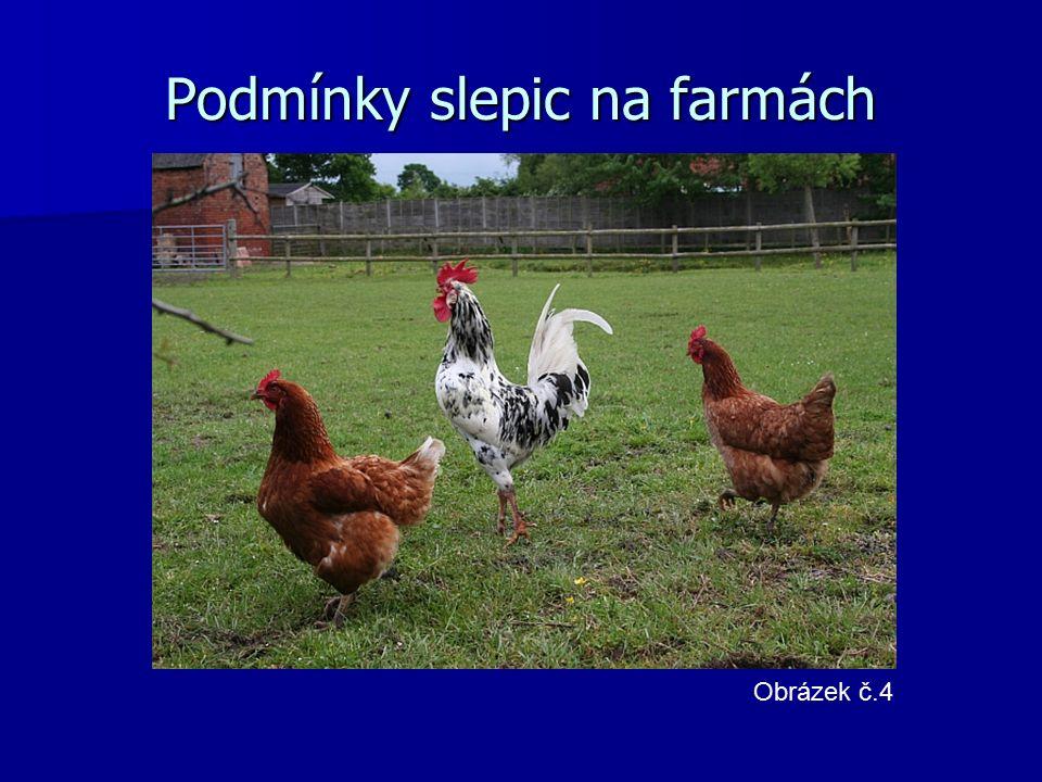 Podmínky slepic na farmách Obrázek č.4