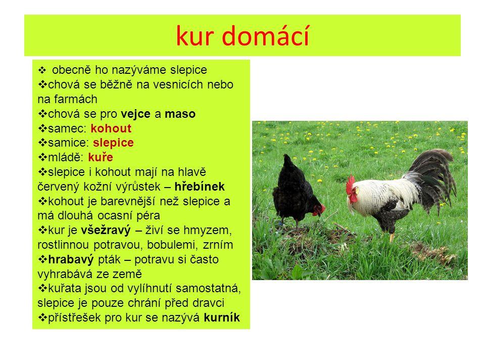 kur domácí  obecně ho nazýváme slepice  chová se běžně na vesnicích nebo na farmách  chová se pro vejce a maso  samec: kohout  samice: slepice 