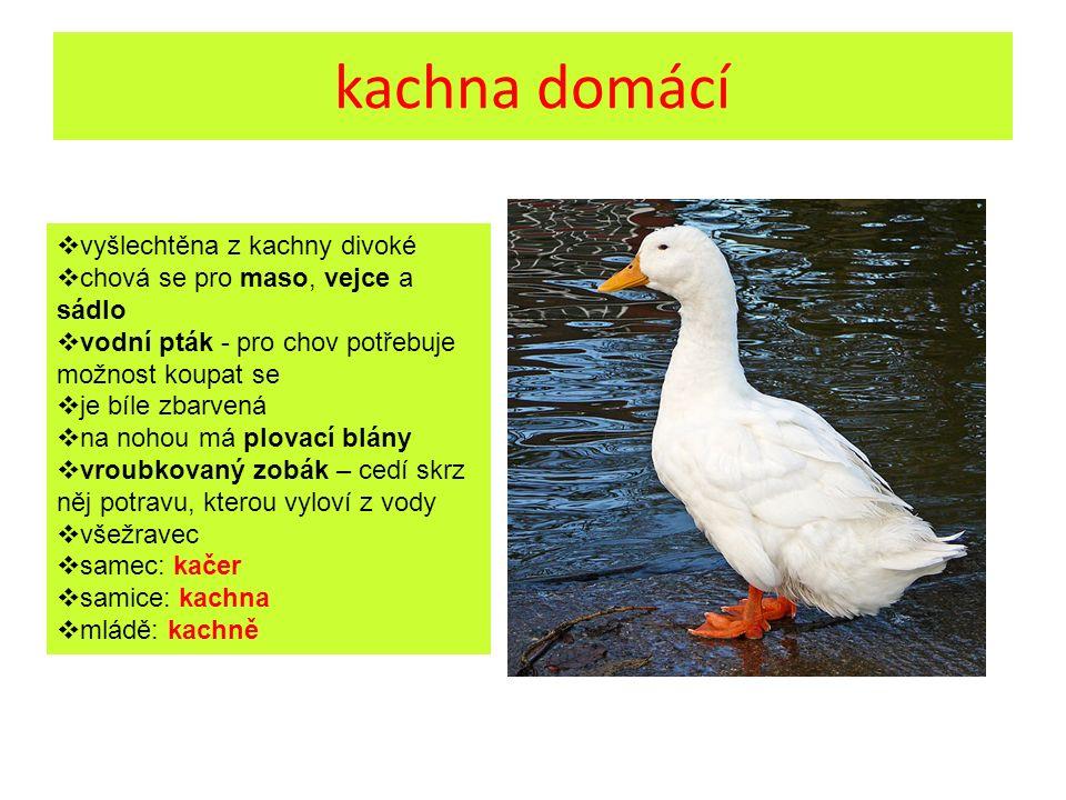kachna domácí  vyšlechtěna z kachny divoké  chová se pro maso, vejce a sádlo  vodní pták - pro chov potřebuje možnost koupat se  je bíle zbarvená
