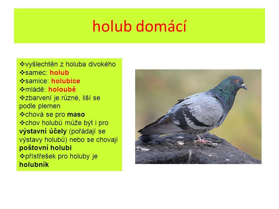 holub domácí  vyšlechtěn z holuba divokého  samec: holub  samice: holubice  mládě: holoubě  zbarvení je různé, liší se podle plemen  chová se pro maso  chov holubů může být i pro výstavní účely (pořádají se výstavy holubů) nebo se chovají poštovní holubi  přístřešek pro holuby je holubník