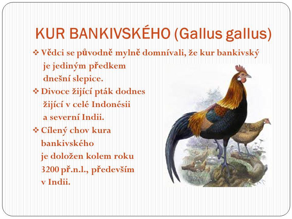 KUR BANKIVSKÉHO (Gallus gallus)  V ě dci se p ů vodn ě myln ě domnívali, že kur bankivský je jediným p ř edkem dnešní slepice.