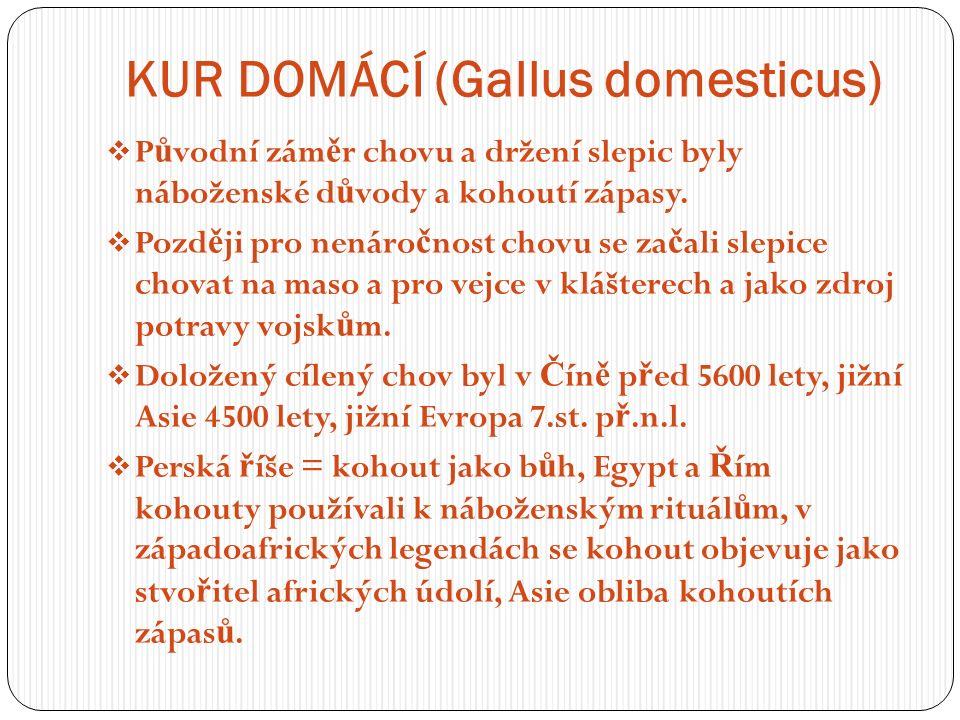 KUR DOMÁCÍ (Gallus domesticus)  P ů vodní zám ě r chovu a držení slepic byly náboženské d ů vody a kohoutí zápasy.