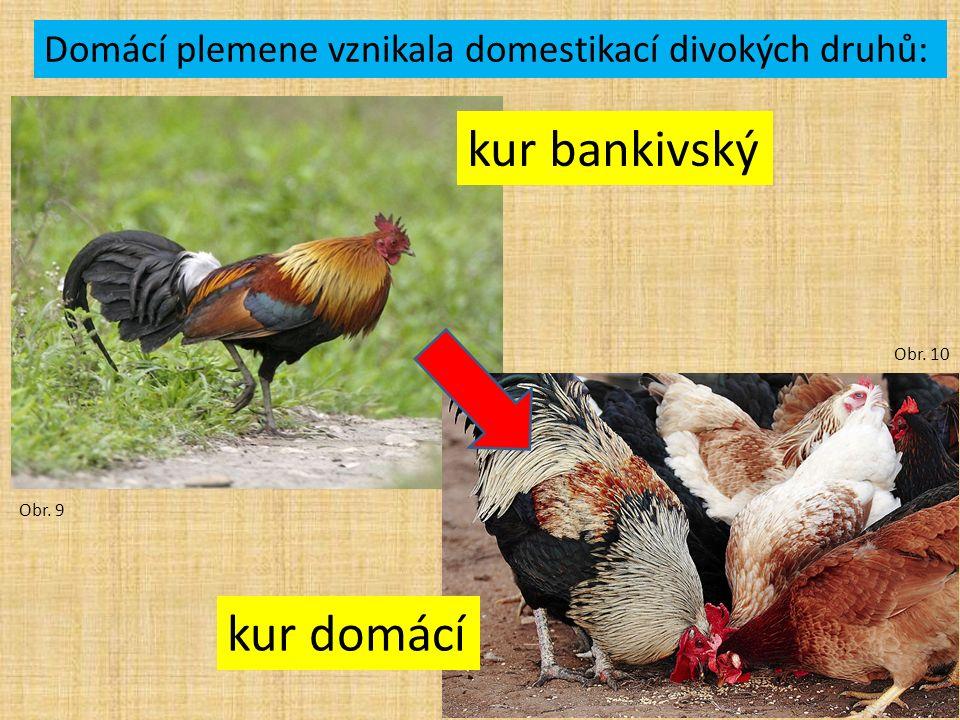 kur bankivský kur domácí Obr. 9 Obr. 10 Domácí plemene vznikala domestikací divokých druhů: