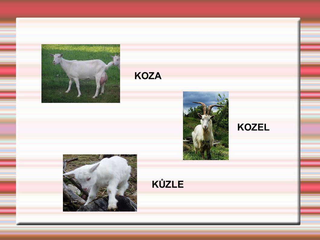 KOZA KOZEL KŮZLE