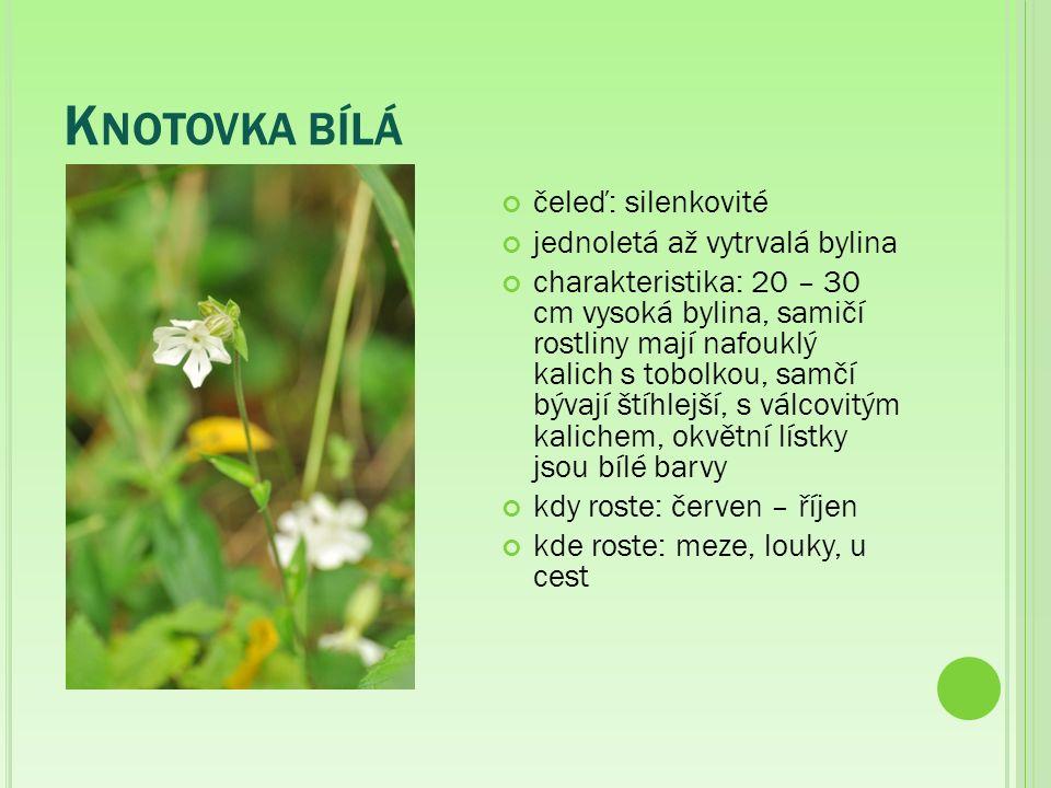 K NOTOVKA BÍLÁ čeleď: silenkovité jednoletá až vytrvalá bylina charakteristika: 20 – 30 cm vysoká bylina, samičí rostliny mají nafouklý kalich s tobolkou, samčí bývají štíhlejší, s válcovitým kalichem, okvětní lístky jsou bílé barvy kdy roste: červen – říjen kde roste: meze, louky, u cest