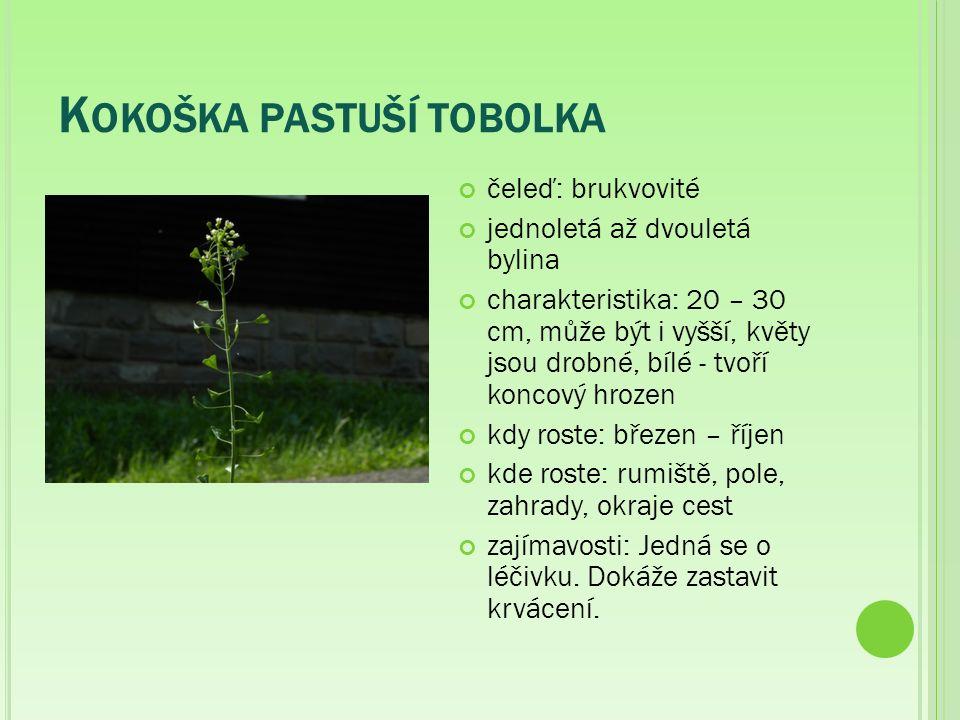 K OKOŠKA PASTUŠÍ TOBOLKA čeleď: brukvovité jednoletá až dvouletá bylina charakteristika: 20 – 30 cm, může být i vyšší, květy jsou drobné, bílé - tvoří koncový hrozen kdy roste: březen – říjen kde roste: rumiště, pole, zahrady, okraje cest zajímavosti: Jedná se o léčivku.
