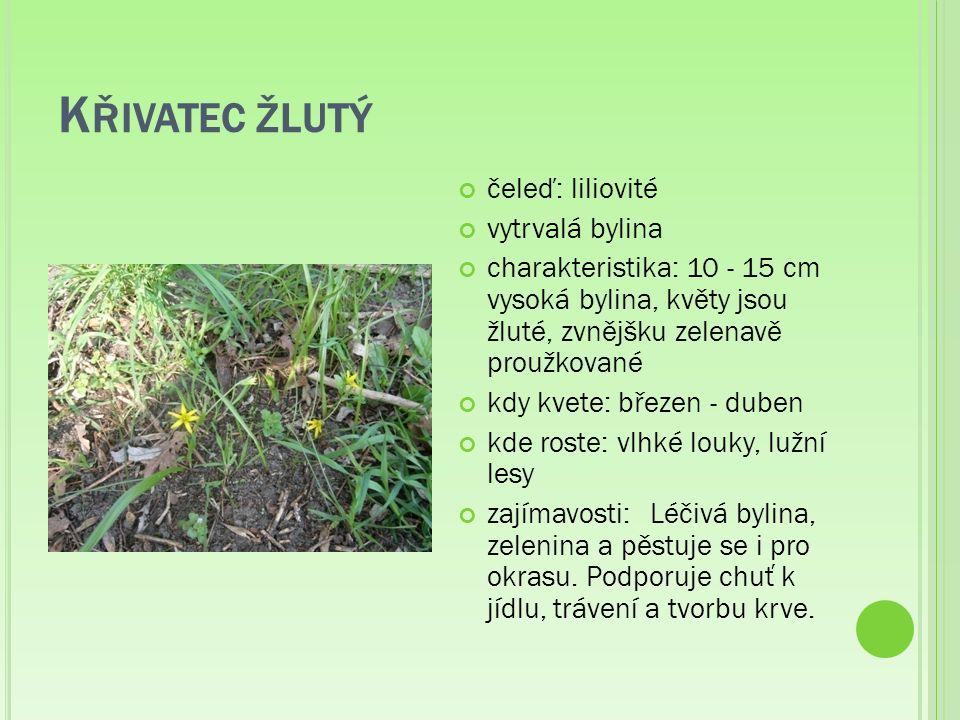K ŘIVATEC ŽLUTÝ čeleď: liliovité vytrvalá bylina charakteristika: 10 - 15 cm vysoká bylina, květy jsou žluté, zvnějšku zelenavě proužkované kdy kvete: březen - duben kde roste: vlhké louky, lužní lesy zajímavosti:Léčivá bylina, zelenina a pěstuje se i pro okrasu.
