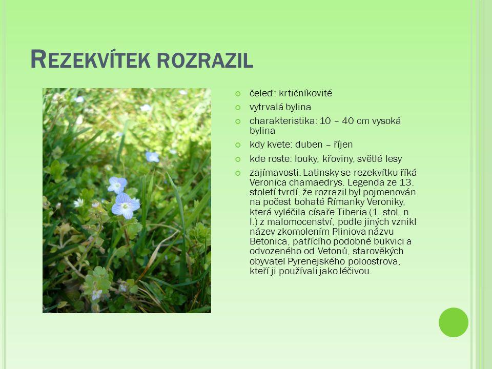 R EZEKVÍTEK ROZRAZIL čeleď: krtičníkovité vytrvalá bylina charakteristika: 10 – 40 cm vysoká bylina kdy kvete: duben – říjen kde roste: louky, křoviny, světlé lesy zajímavosti.